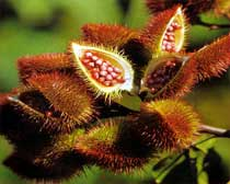 annatto fruit