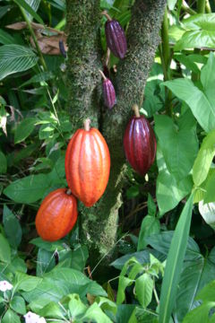 cocoa fruit